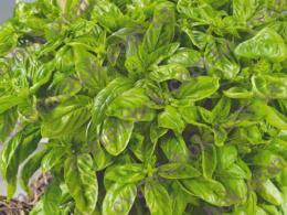 Базилик лимонный (зеленый)