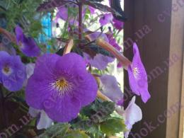 Tetra Himalayan Purple