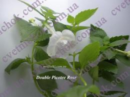 Double Picotee Rose