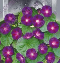 Ипомея Фиолетовая Гранд Па
