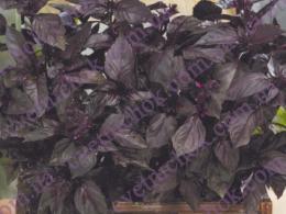 Базилик итальянский (фиолетовый)