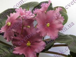 Т3-Аленький Цветочек