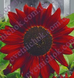 Подсолнечник декоративный Красное Солнышко