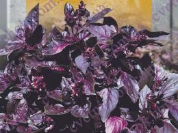 Базилик (фиолетовый)