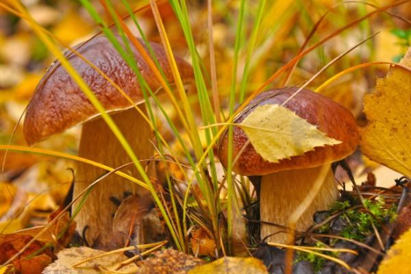 Фото Кинбурнская коса - белые грибы
