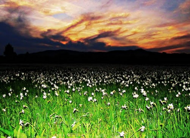 Фото Долина нарциссов