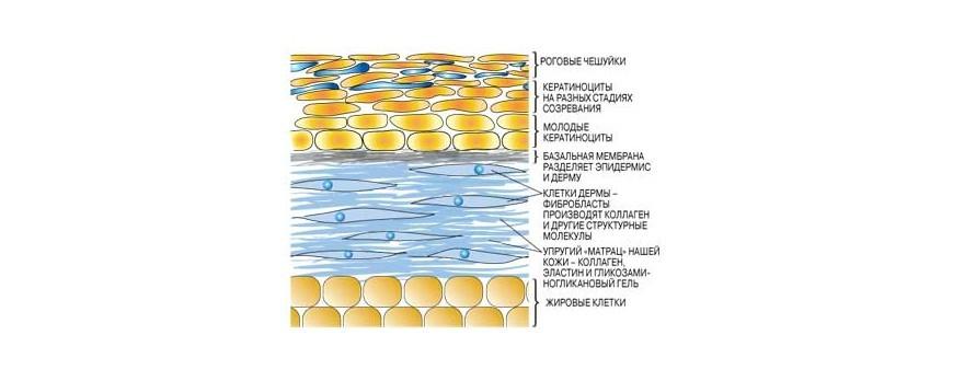 Фото Все о пилингах. Часть ➁. О коллагене, эластене и гиалуроновой кислоте.❀